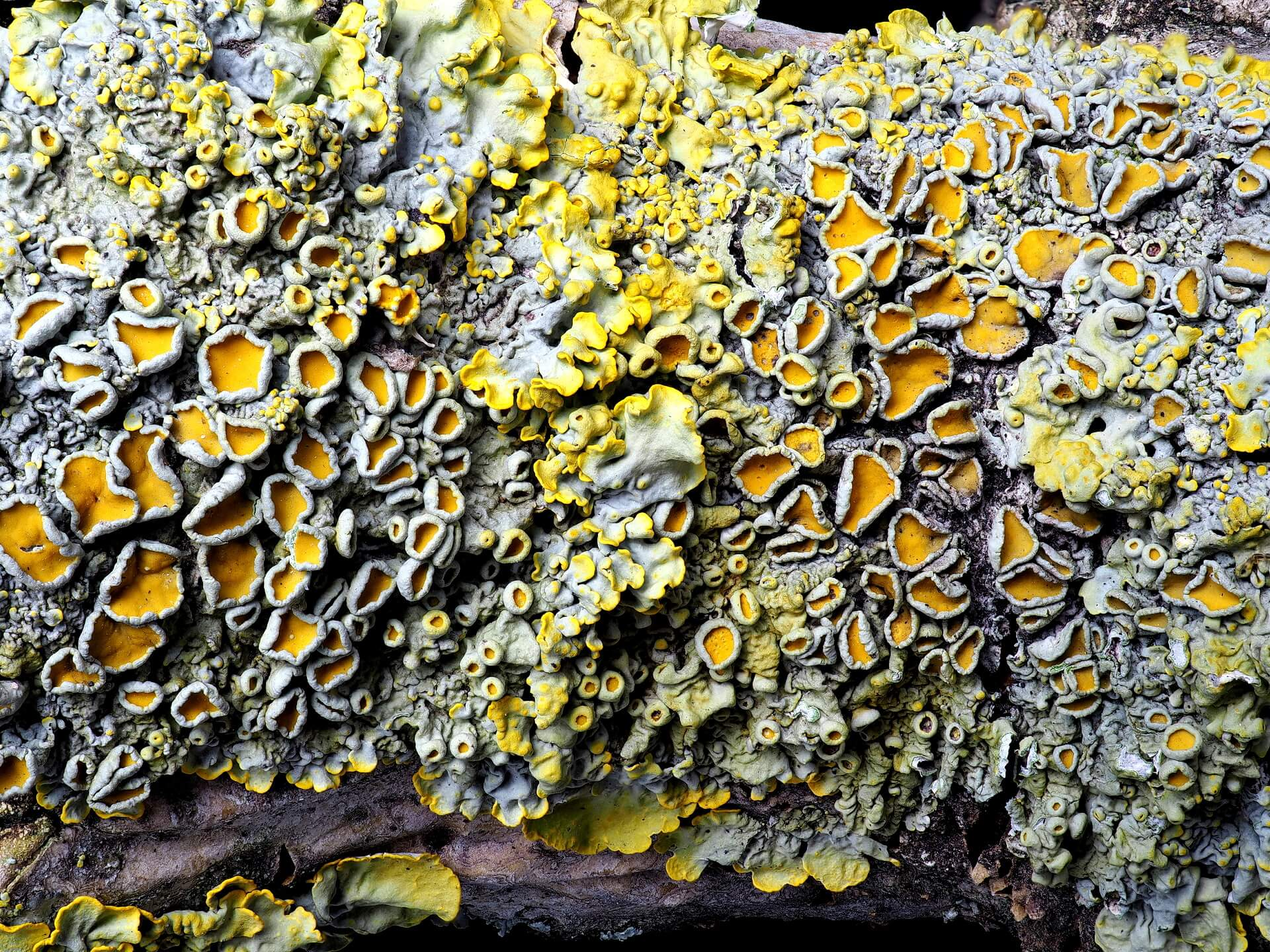 Macro shot showing detailed view of sunburst lichen.