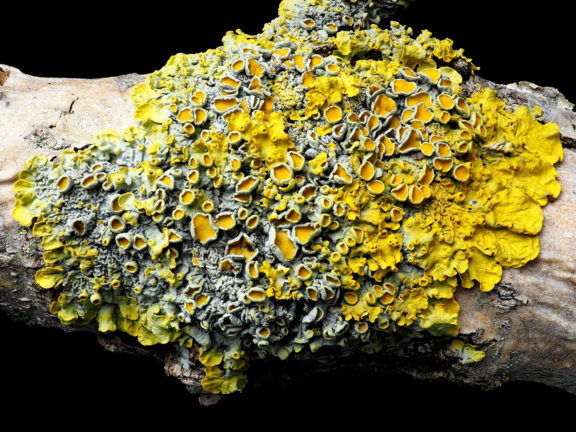A tree branch with Sunburst Lichen growing on it.