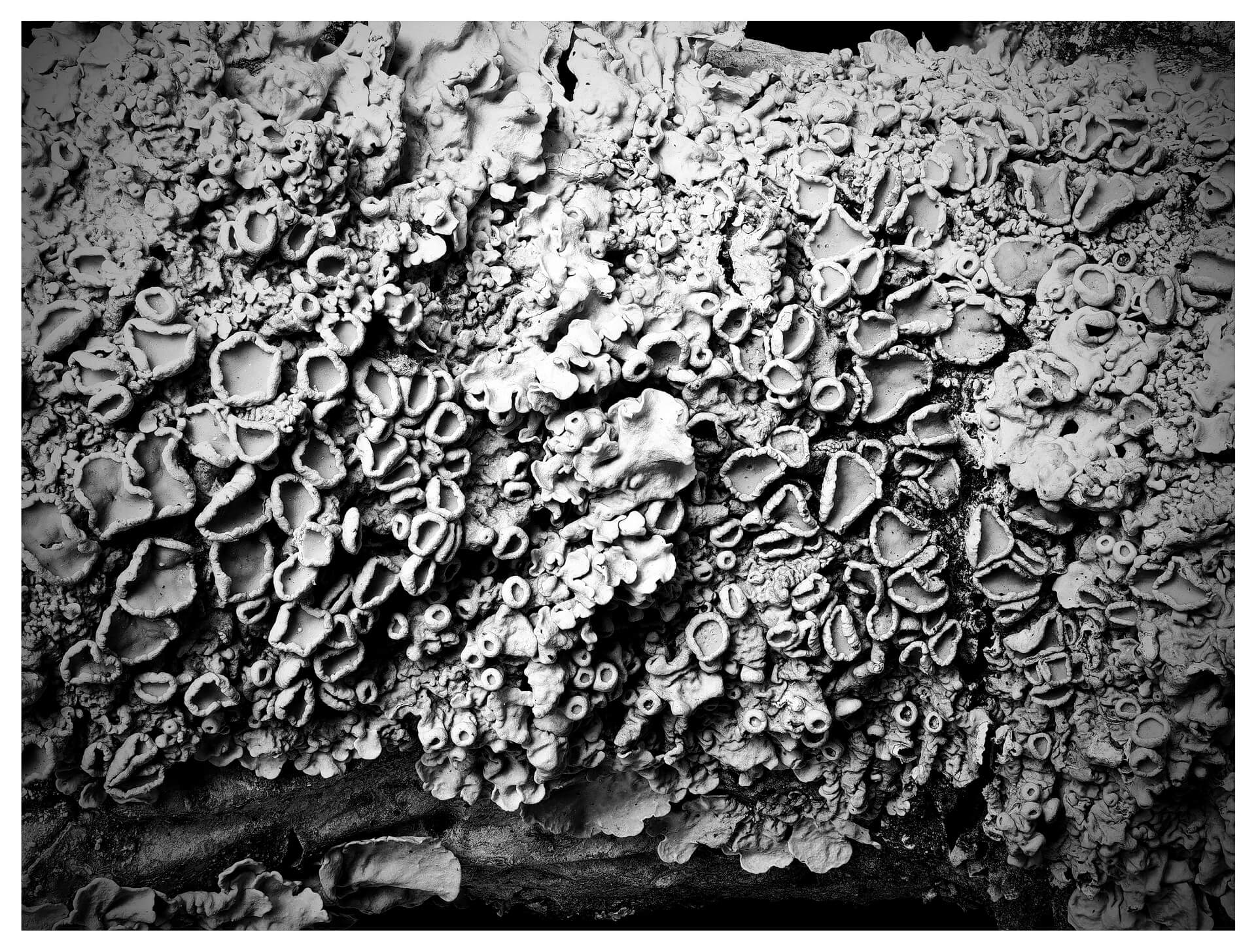 Maritime Sunburst Lichen (black and white)